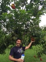 Pawpaw fruit tree(?) at Puerto Vallarta Botanical Gardens
