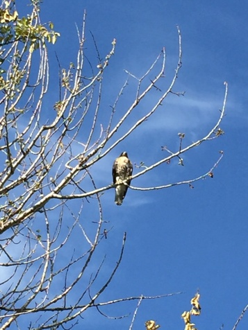 One half of a red-tailed hawk pair in our backyard