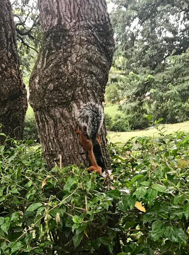 Fancy squirrel in Sámara, Costa Rica