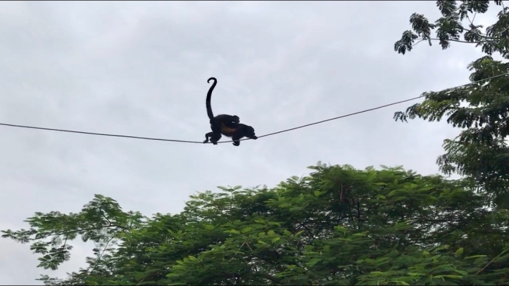 Howler monkeys in Sámara, Costa Rica