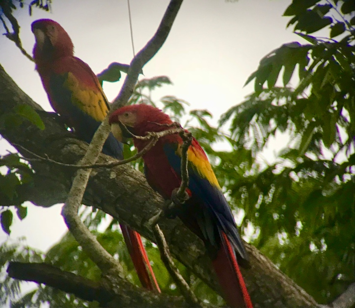 Scarlet macaws at the ARA Project in Costa Rica