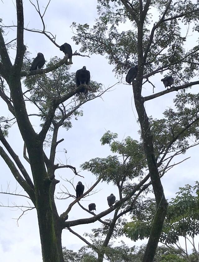 Black-headed vultures