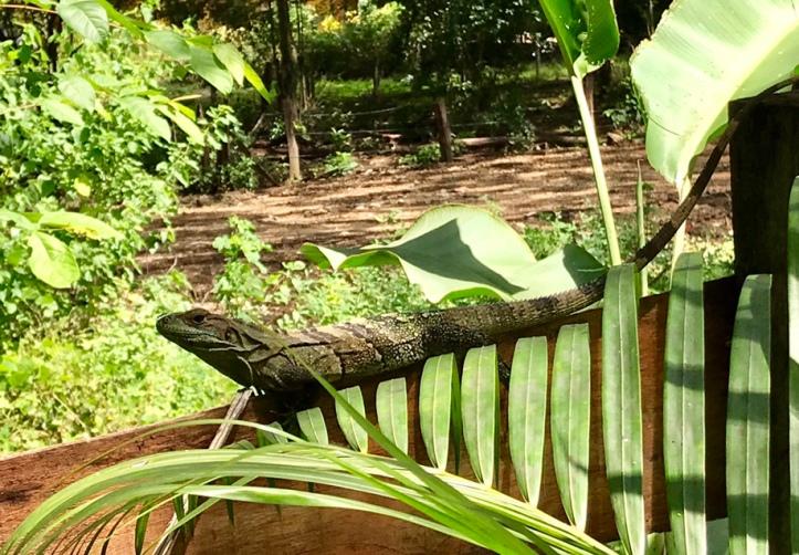 Iguana un Sámara, Costa Rica